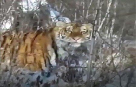 На окраинах п. Артемовский замечен тигр.