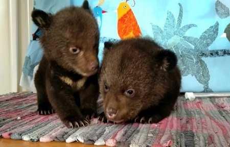 Двух гималайских медвежат забрали у пасечника в Приморье.