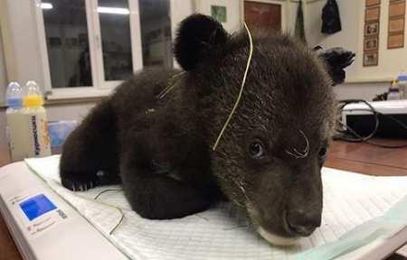 Двух медвежат в коробке подбросили леснику в Красноармейском районе.
